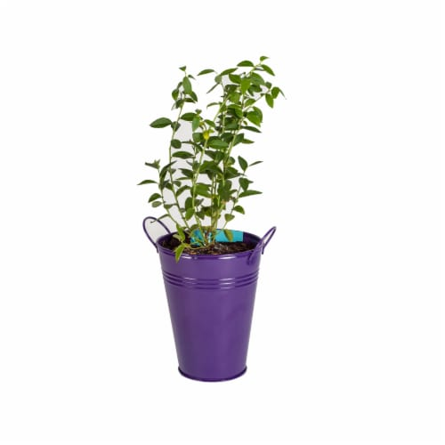 Blueberry Bush in Decorative Container  (1 Ea) Perspective: front