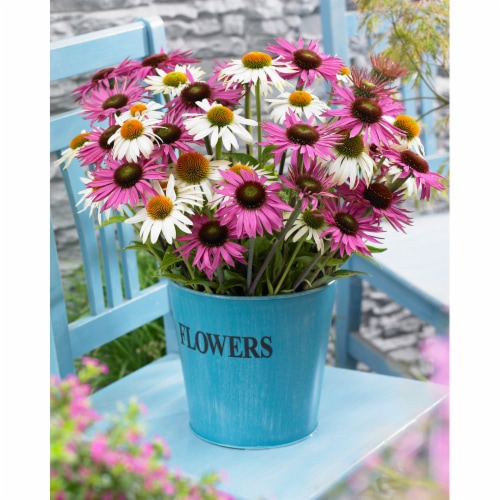 Butterfly Daisy Blend Roots (6 pack) Perspective: front