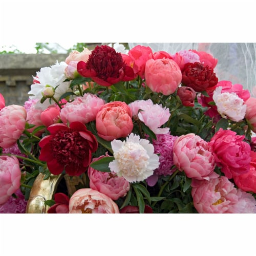 Breeder's Choice Cut Flower Peony Blend Roots (5 pack) Perspective: front