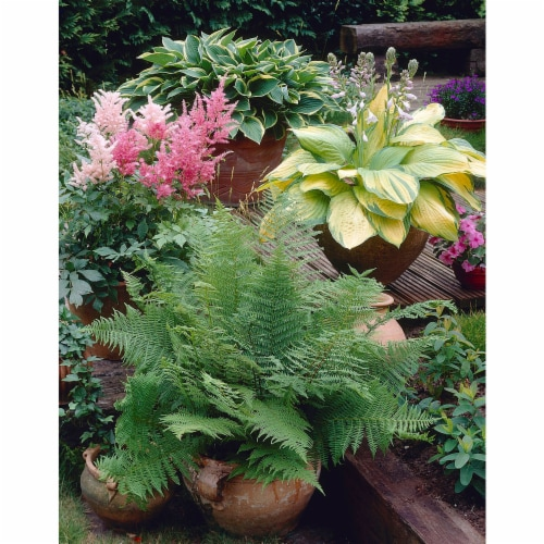Three Great Shade Patio Perennial Collection Roots (3 pack) Perspective: front