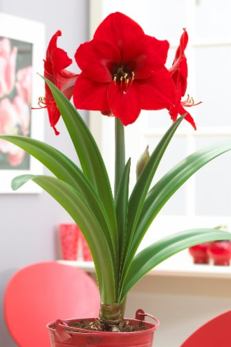 Economy Amaryllis Red Lion (12-Pack) Perspective: front