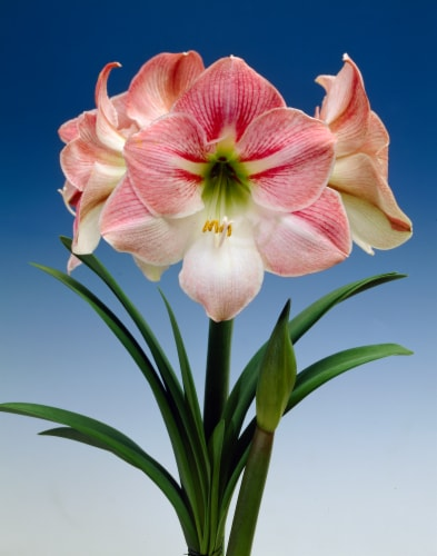 Economy Amaryllis Apple Blossom (3-Pack) Perspective: front