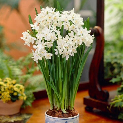 Paperwhites Ziva (7-Pack) Perspective: front