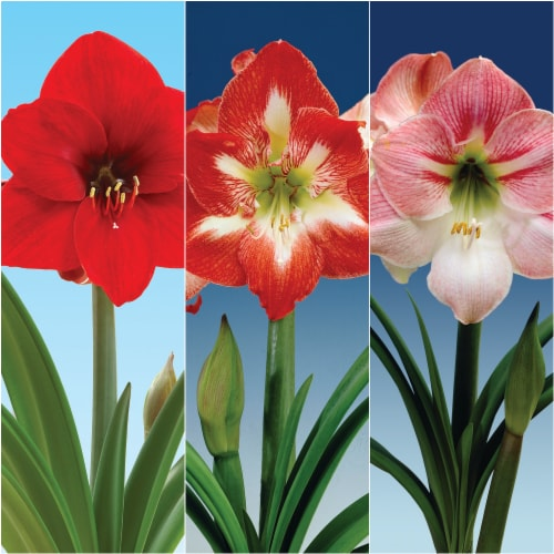 Economy Amaryllis Collection (3) Perspective: front