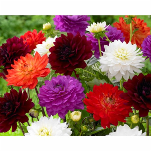 Karma Dahlia Bulb Mixture (8 pack) Perspective: front