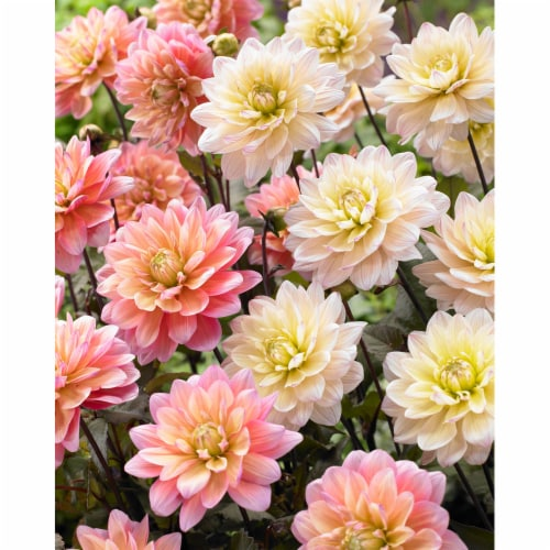 Dahlia Candy Bulb Mixture (6 pack) Perspective: front