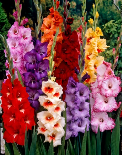 Tropical Gladiolus Bulb Mixture (50 pack) Perspective: front