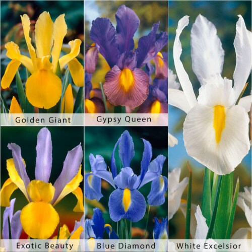 Care Free and Rewarding Dutch Iris Bulb Collection (50 pack) Perspective: front