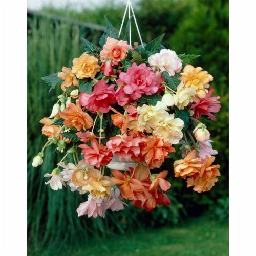 Pastel Hanging Basket Begonia Bulbs Mixed (5 pack) Perspective: front