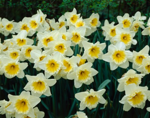 Daffoidil Ice Follies Perspective: front