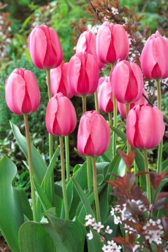 Darwin Tulip Bulbs Pink Impression Perspective: front