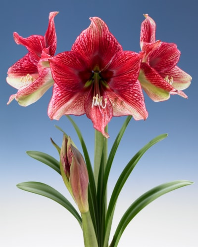Amaryllis Tosca 26/28cm (1-pack) with Pot Perspective: front