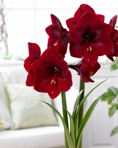 Amaryllis Royal Velvet 26/28cm (1-pack) with Pot Perspective: front