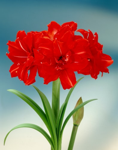 Amaryllis Red Peacock 26/28cm (1-pack) with Pot Perspective: front
