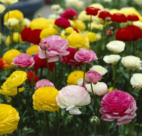 Ranunculus Mix Bulbs (12 pack) Perspective: front