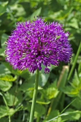 Persian Blue Allium Perspective: front