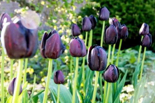 Queen Of Night Tulip (10 pack) Perspective: front