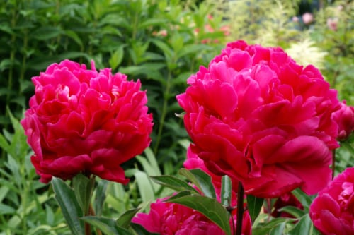 Karl Rosenfield Peony Roots (1 pack) Perspective: front