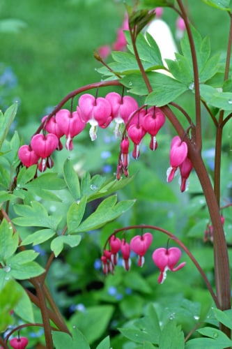 Bleeding Hearts Perspective: front