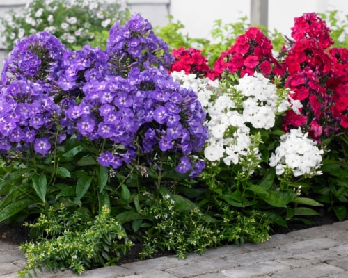 Phlox Mix (5 pack) Perspective: front