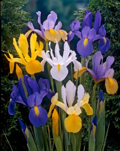 Dutch Iris Mixed Perspective: front