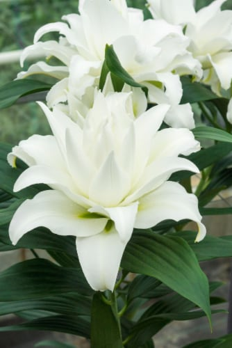My Wedding Lily Perspective: front