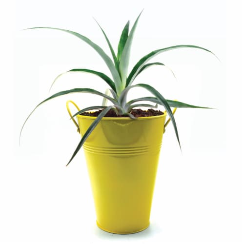 Pineapple Bush in Decorative Container  (1 Ea) Perspective: front