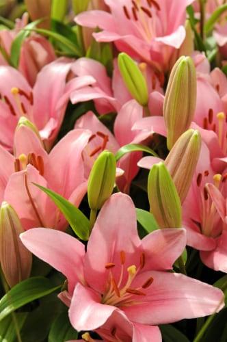 Foxtrot Asiatic Lilium Bulb (3 pack) Perspective: front