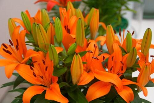 Matrix Orange Asiatic Lilium Bulb (3 pack) Perspective: front