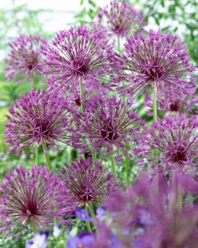 Allium Purple Rain Perspective: front