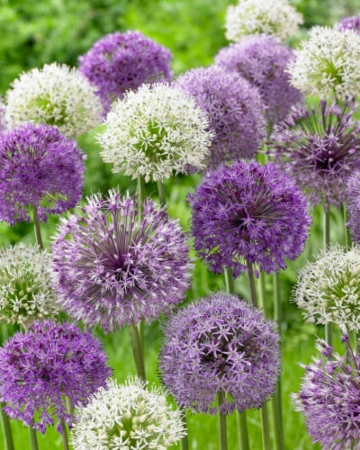 Allium Mixed Perspective: front