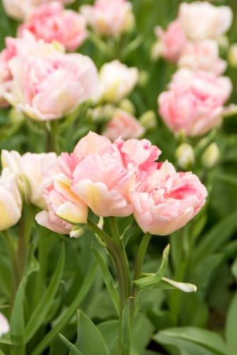 Tulipa Angelique Perspective: front
