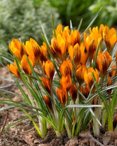 Crocus Orange Monarch Perspective: front