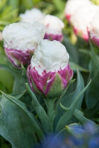 Tulipa Ice Cream Perspective: front