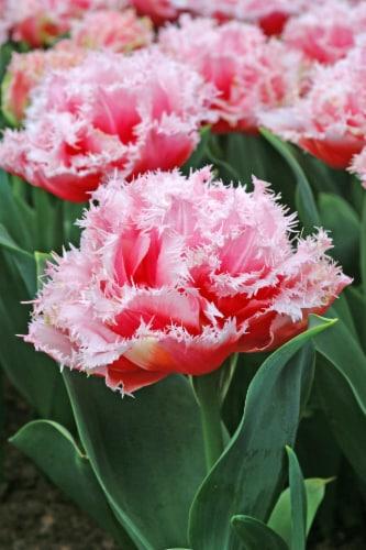 Tulipa Queensland Perspective: front