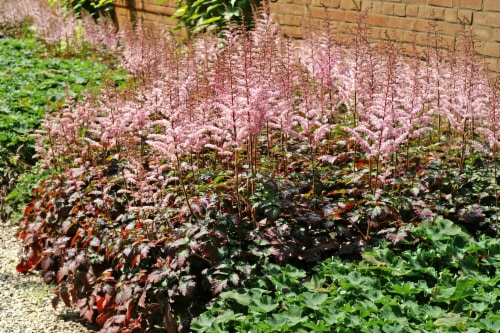Color Flash PBR Astilbe Roots (1 pack) Perspective: front