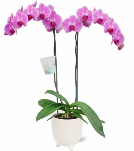 Orchid in Pot Perspective: front