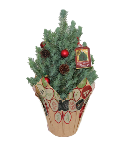 Italian Stone Pine Venti Potted Plant Perspective: front
