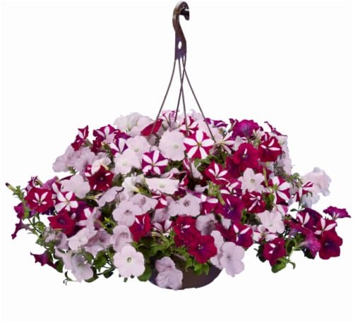 Wave Petunia Star Fish Hanging Basket - White/Pink Perspective: front