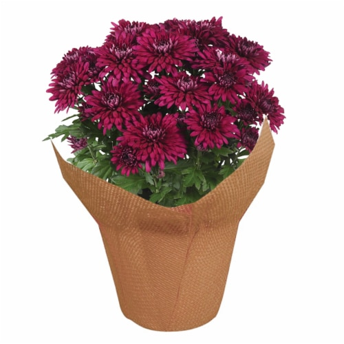 Potted Fall Mums Perspective: front