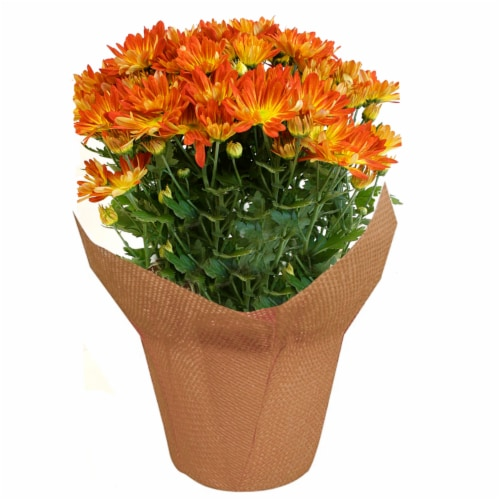 Fall Pelee Mums Perspective: front