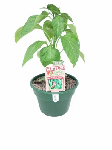 Joe E Parker Hatch Chile Pepper Plant Perspective: front