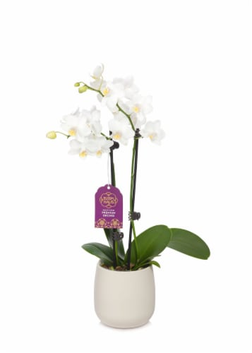 Bloom Haus™ Premium Potted Orchids Perspective: right