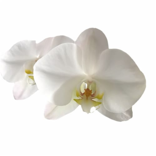 Bloom Haus™ Premium Potted Orchids Perspective: top
