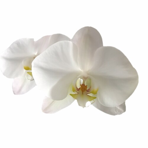 BLOOM HAUS™ Assorted Everyday Orchid Perspective: top