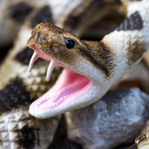 Eastern Diamondback Rattlesnake Perspective: top