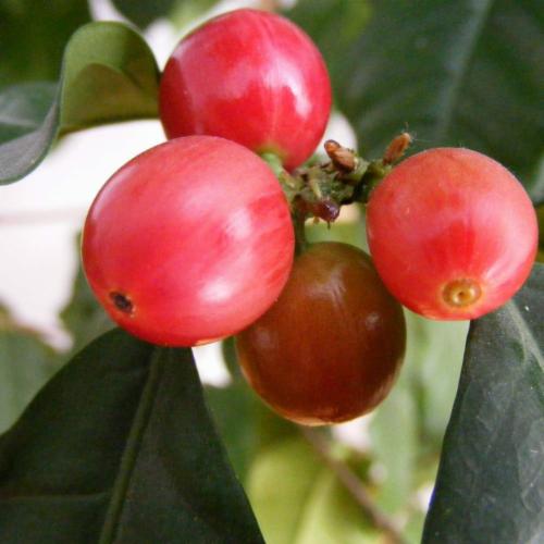 Premium Kaya Kopi Lam Dong, Vietnam -Energy Robusta Arabica Roasted Whole Coffee Beans 12oz Perspective: top