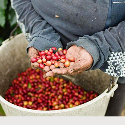 Premium Kaya Kopi Kona Mauna Loa Medium Roast Robusta Arabica Whole Coffee Beans 12oz Perspective: top