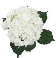 BLOOM HAUS™ Hydrangea - White