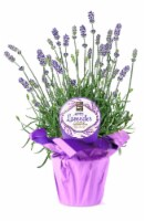 Rocket Farms Potted Lavender